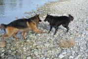 Altdeutscher und belgischer Schäferhund