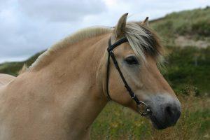 Fjord Pony auf der Fort- und Weiterbildung für Tierärzte München