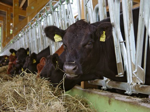 Rinder, Nutztiere